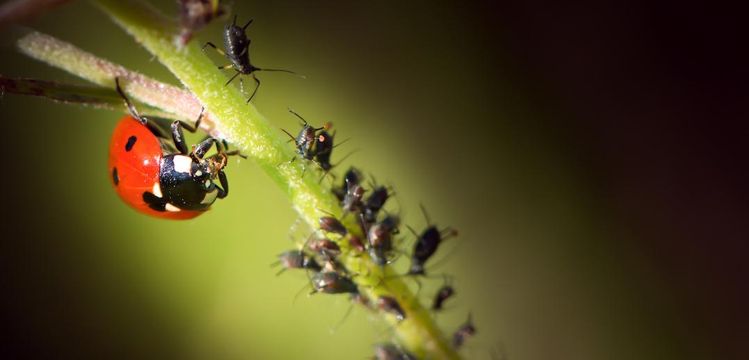 lieveheersbeestje bladluis